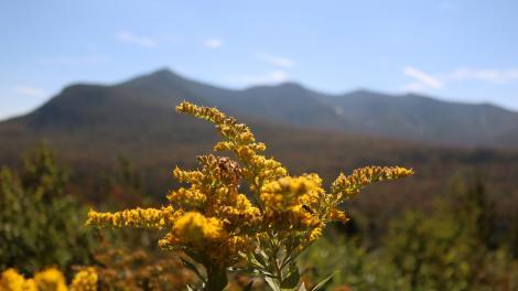 Blühende Goldruten im Green Mountain National Forest