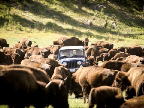 Jährlicher Zusammentrieb der 1.300Bisons im Custer State Park