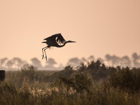 Ein Kanadareiher setzt pünktlich zum Birdfest im Big Branch Marsh zur Landung an.