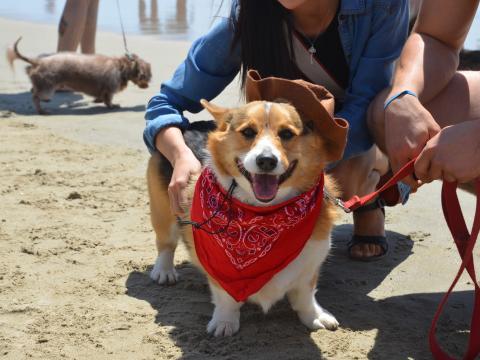 Ein stolzer Teilnehmer beim Corgi Beach Day