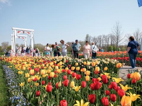 Ein von bunten Tulpen gesäumter Weg beim Tulip Time Festival
