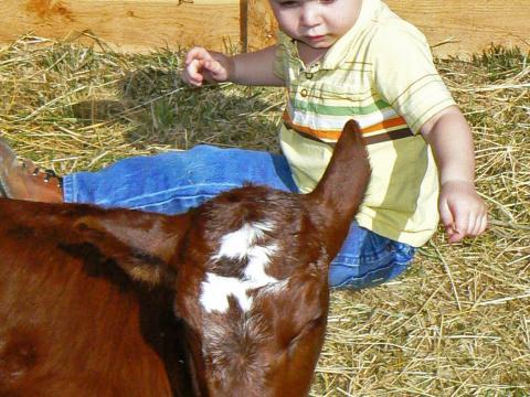 Bei den Baby Animal Days im American West Heritage Center schließt ein kleiner Junge Freundschaft mit einem Kalb.