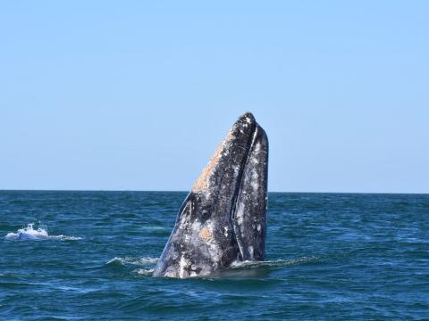 Ein Wal vor der Küste von Oxnard, Kalifornien